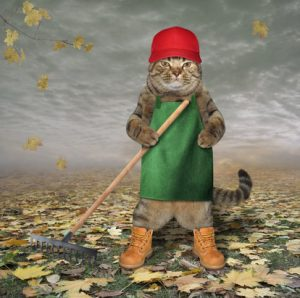 The cat gardener rakes dead leaves in his garden.